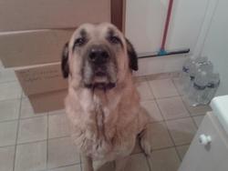 Herran, chien Berger d'Anatolie