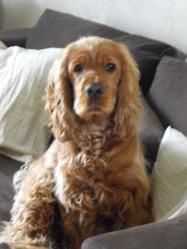 Herton, chien Cocker anglais