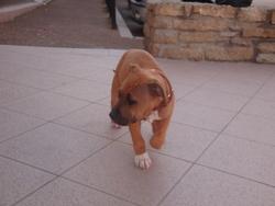 Héslie, chien American Staffordshire Terrier