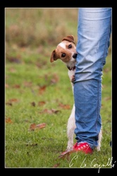 Hestia, chien Jack Russell Terrier