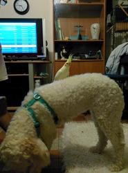 Hestia, chien Chien d'eau romagnol