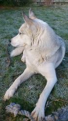 Hestia, chien Husky sibérien