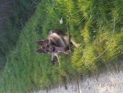 Hestia, chien Berger allemand