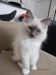 Hestia, chat Birman
