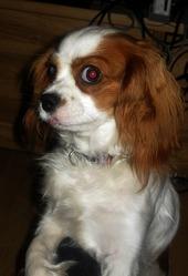Hestia, chien Cavalier King Charles Spaniel