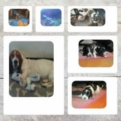 Hestina, chien Basset Hound