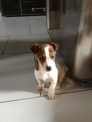 Hetan, chien Jack Russell Terrier