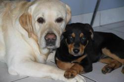 Hethann, chien Rottweiler