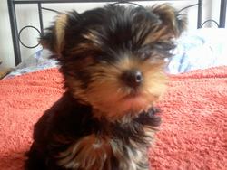 Hetty, chien Yorkshire Terrier