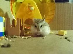 Hétincelle, rongeur Hamster