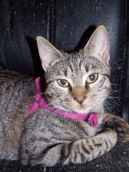 Héva, chat Gouttière
