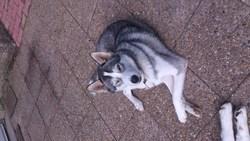 Heva, chien Husky sibérien