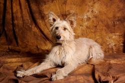 Hévea, chien Berger de Picardie