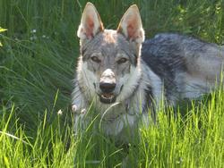 Hever, chien Chien-loup tchèque