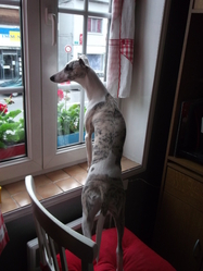 Heverley, chien Whippet
