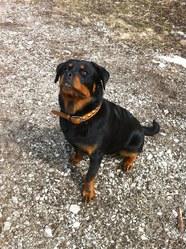 Hevy, chien Rottweiler