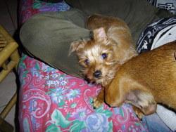 Heyah Su Ann, chien Yorkshire Terrier