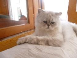 Héyko, chat Persan