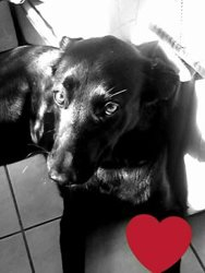 Heywa, chien Beauceron