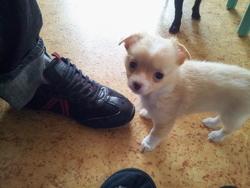Heywa, chien Chihuahua