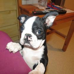 Hiago, chien Terrier de Boston