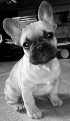 Hiago, chien Bouledogue français