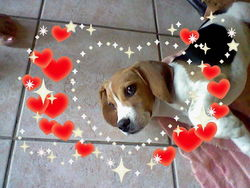 Hiago, chien Beagle