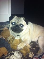Hianki, chien Carlin