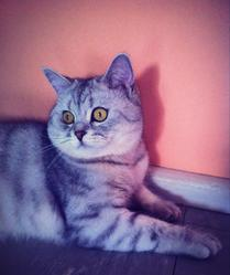 Hibiscus, chat British Shorthair
