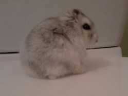 Hibiscus, rongeur Hamster