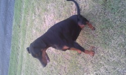 Hibiza, chien Dobermann