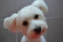 Hibou, chien Bichon maltais