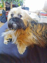 Hicard, chien Lhassa Apso
