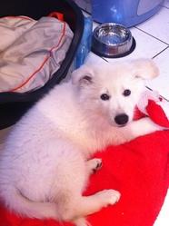 Hice , chien Berger blanc suisse