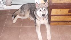 Hice, chien Malamute de l'Alaska