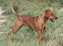 Hickson, chien