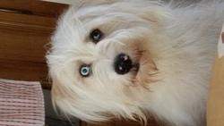 Hicky, chien Berger des Pyrénées