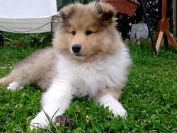Hidalgo, chien Colley à poil long