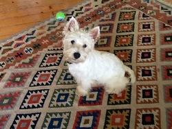 Hidalgo, chien West Highland White Terrier