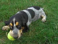 Hidalgo, chien Bleu de Gascogne