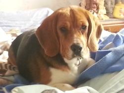 Hidalgo, chien Beagle