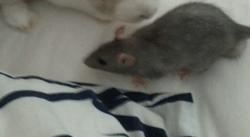 Hidalgo Décédé, rongeur Rat