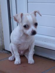 Hidefix, chien Chihuahua