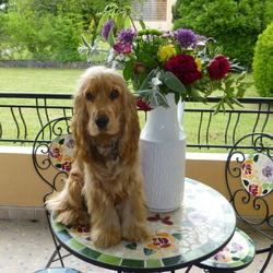 High Teck, chien Clumber Spaniel