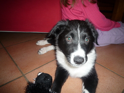 Higloo, chien Border Collie