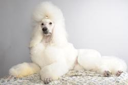 Hiiaggo, chien Caniche