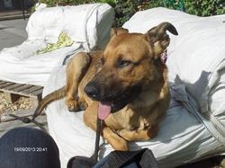 Hijacq, chien Berger allemand
