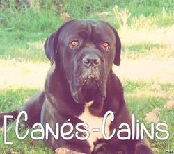Hikaro Des Secrets Du Gevaudan, chien Cane Corso