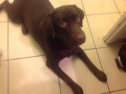 Hila, chien Labrador Retriever