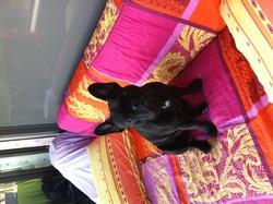 Hilary, chien Bouledogue français